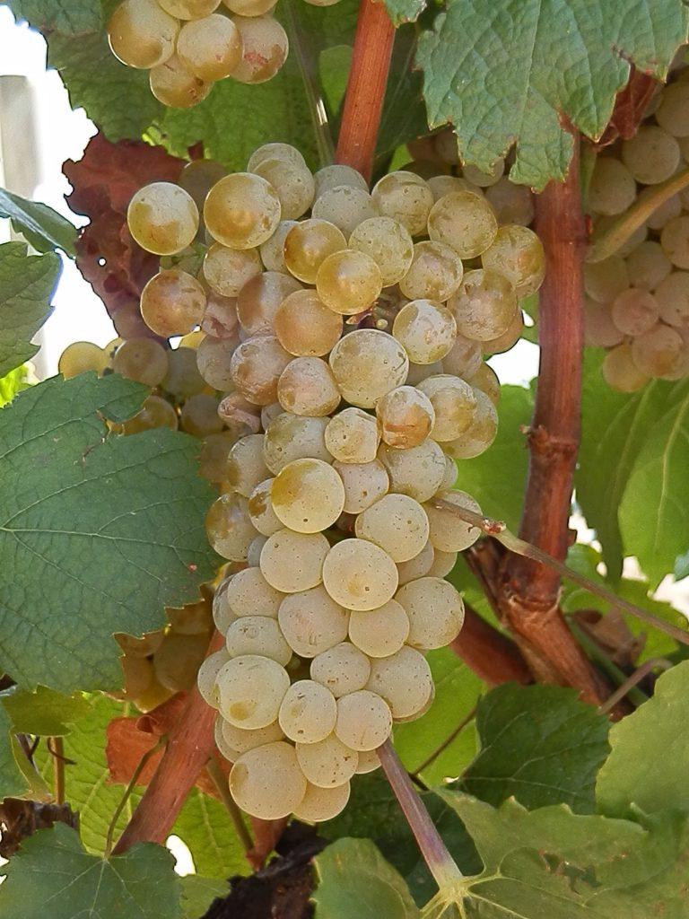 Uvas de la Variedad de vino Verdejo