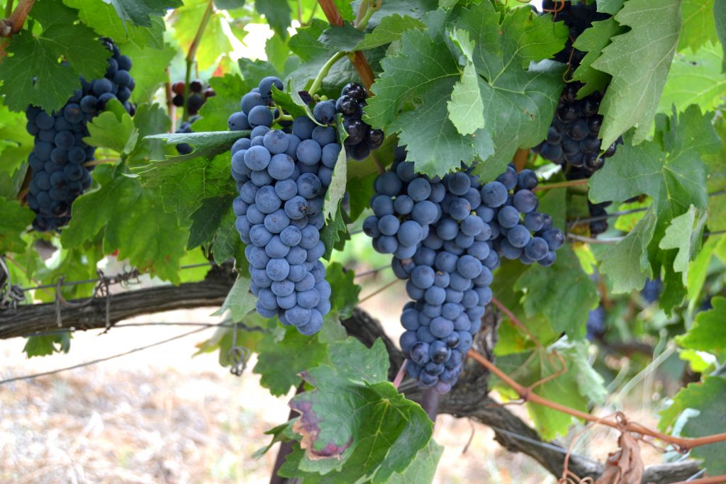 Racimo de uva variedad Tempranillo.