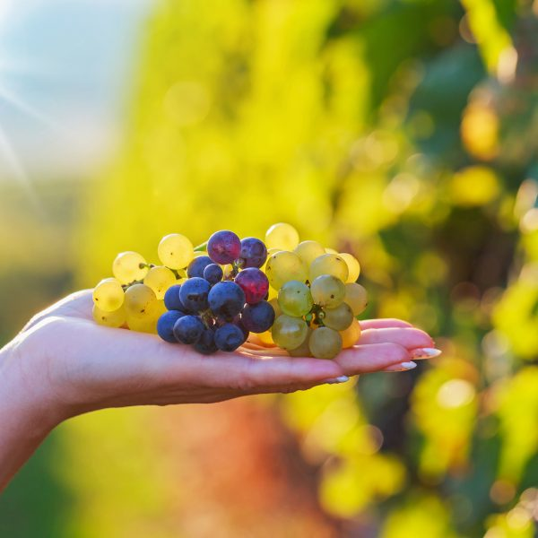 La maduración de la uva