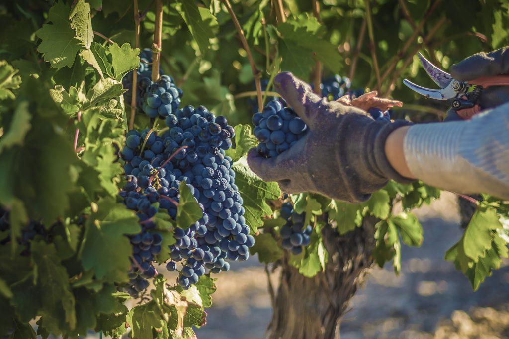 Vino de calidad. La uva en el campo.