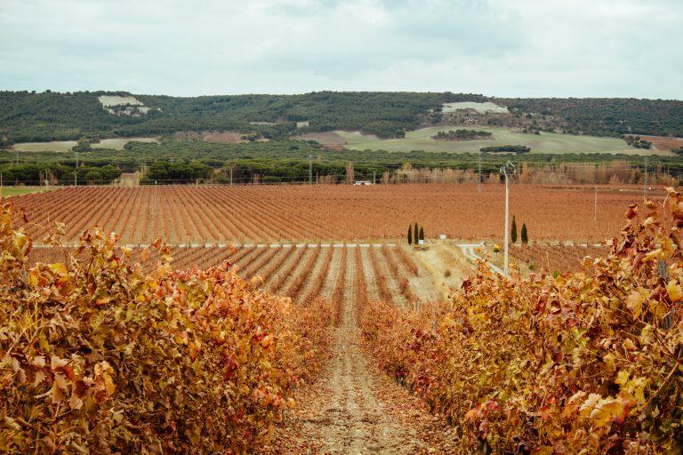 El otoño en el viñedo.