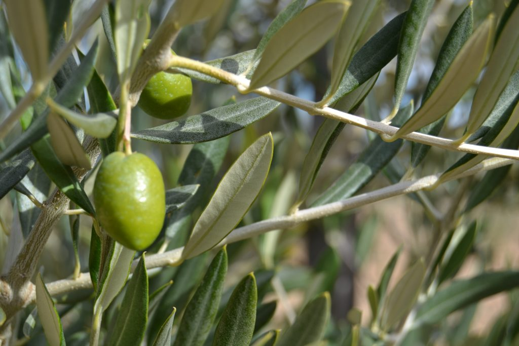 Olivos de la Almazara Oliduero