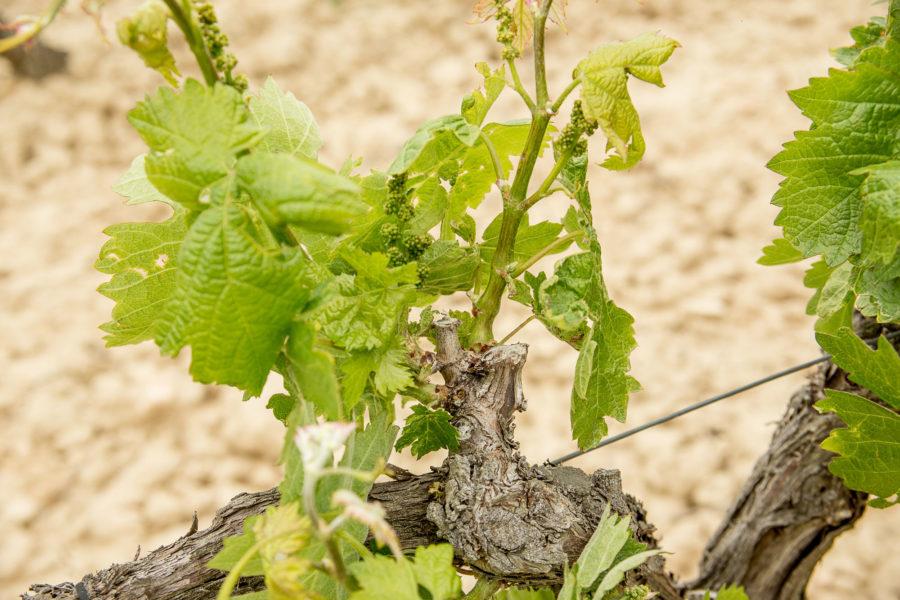 enfermedades del viñedo