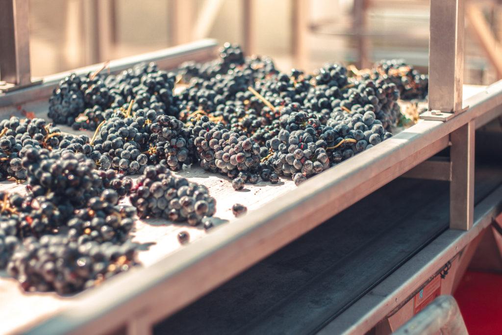 tipo de selección de uva