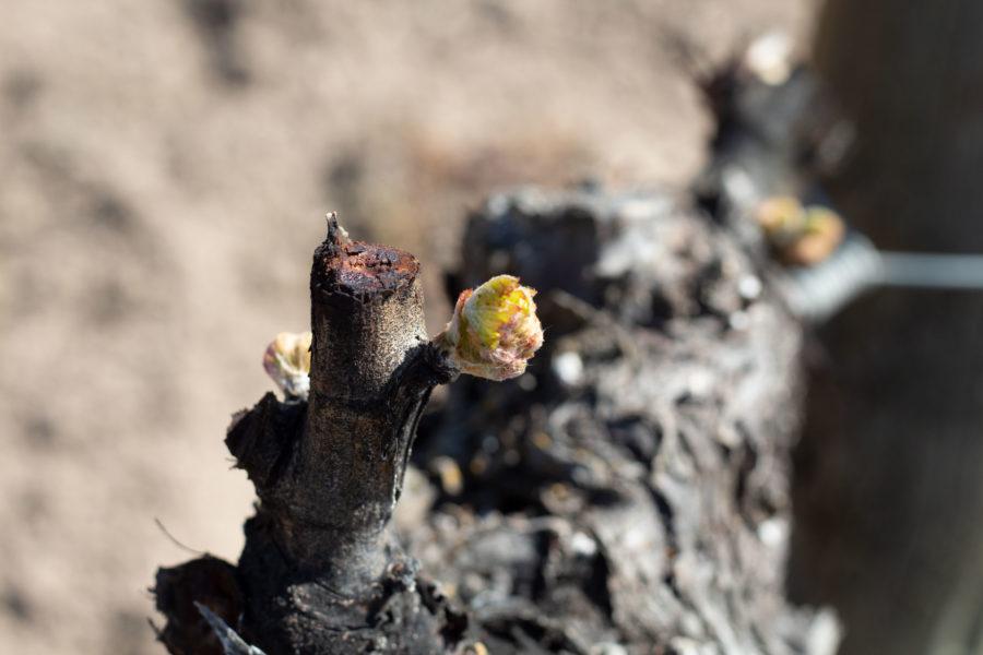 estado fenologico del viñedo - desborre - yema de algodón