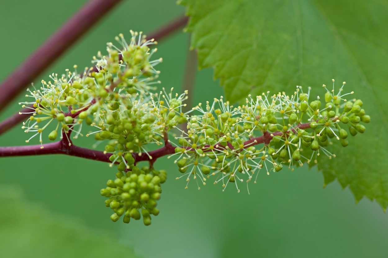 la floración del viñedo