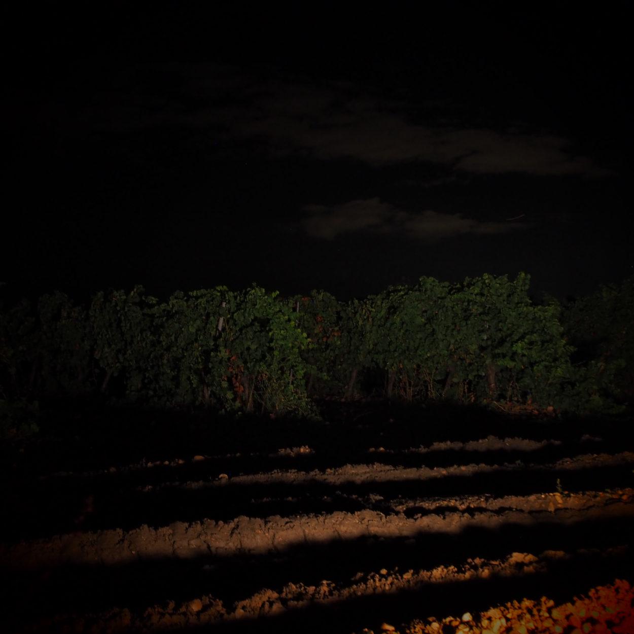 vendimia nocturna
