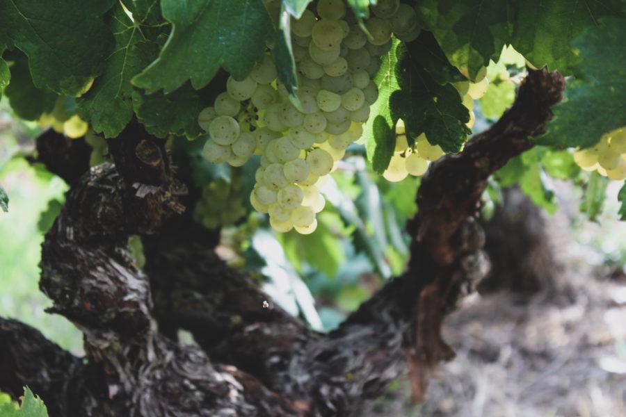 uva blanca